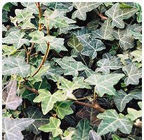 Hedera helix Plattensee